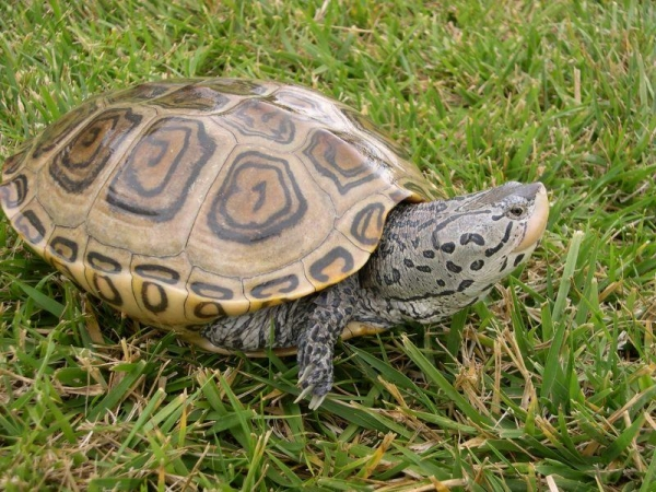 baby diamondback terrapin for sale