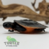 baby Pink bellied snapping turtle for sale