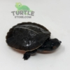 baby Pink bellied snapping turtle