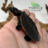 Pink bellied snapping turtle