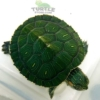 baby slider turtles for sale