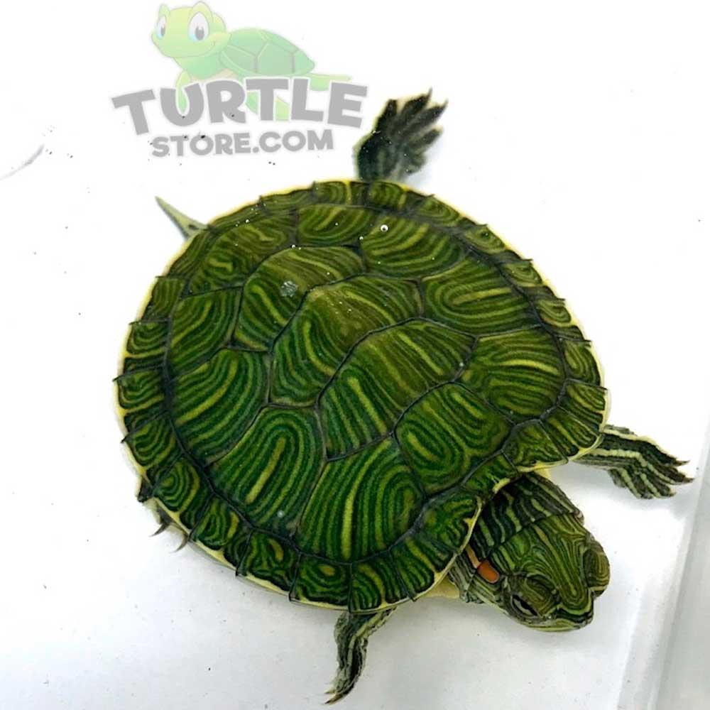 Red Eared Slider Turtle For Sale Turtlestore Com