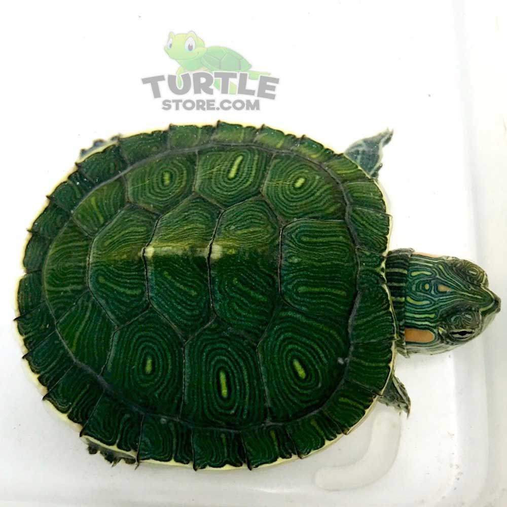 Red Eared Slider Turtle For Sale Turtlestore Com