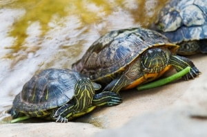 red eared slider turtle for sale captive bred