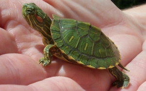 red eared slider turlte for sale