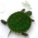 slider turtle for sale