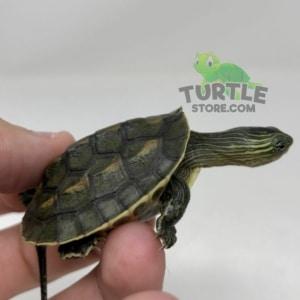 chinese golden thread turtle