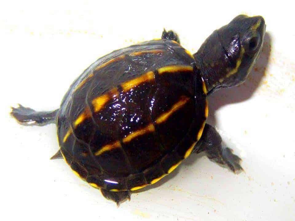 3 Striped Mud Turtle For Sale Turtlestore Com