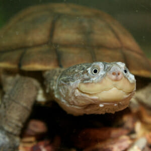 west african side necked turtle for sale