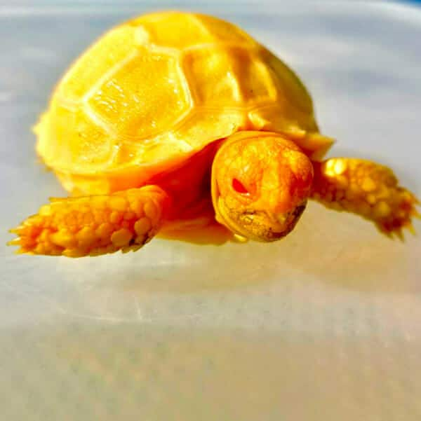 albino sulcata tortoise for sale