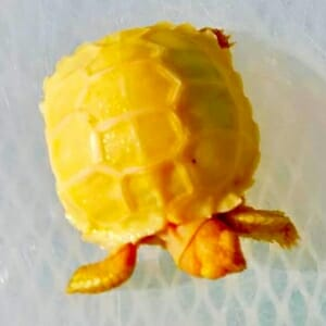 albino sulcata tortoises for sale