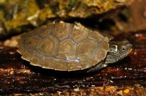 baby map turtles