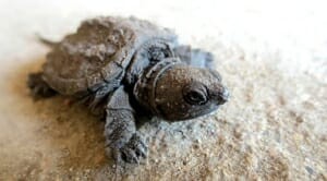 Baby Snapping Turtle for sale