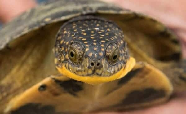 blanding's turtle For sale