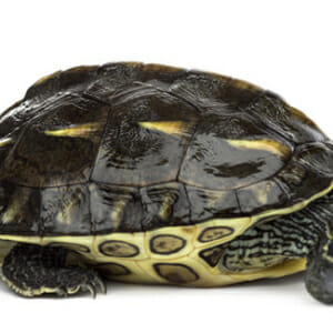 Chinese Golden Thread Turtles For Sale