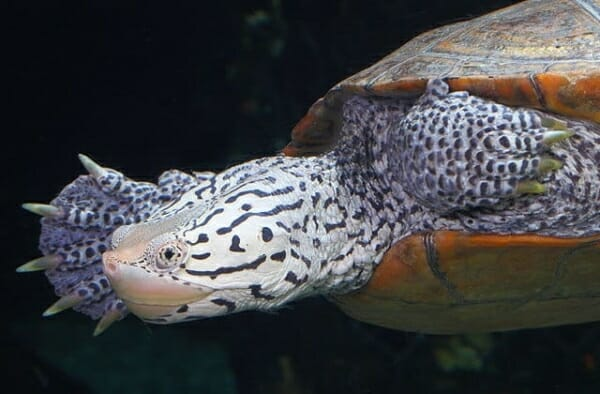 concentric Diamondback Terrapin For Sale