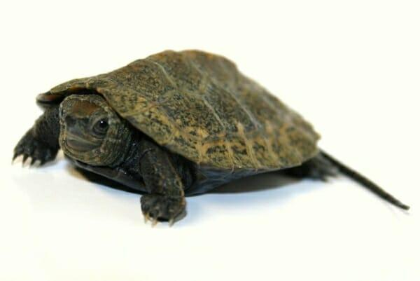 japanese pond turtle for sale