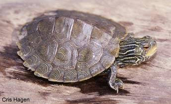 Map Turtle For Sale