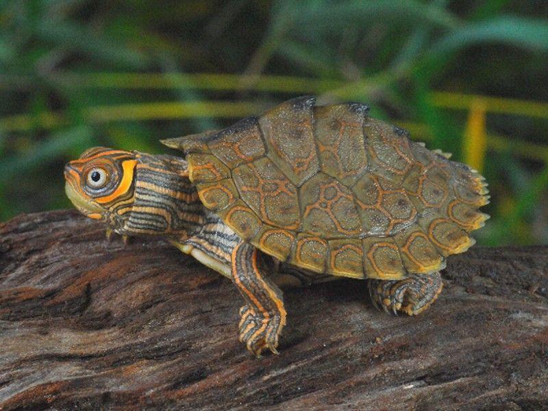 Map Turtle For Sale Turtlestore Com