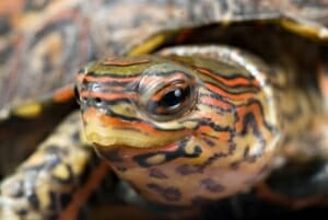 ornate wood turtle for sale