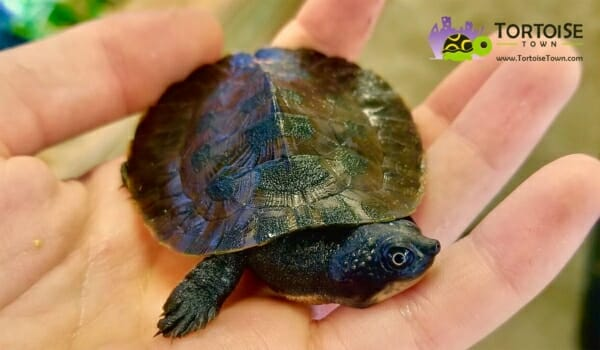 Pink Belly Snapping Turtle For Sale