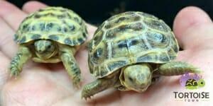 russian tortoise care