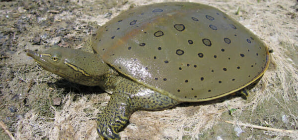 Spiny Softshell Turtle For Sale