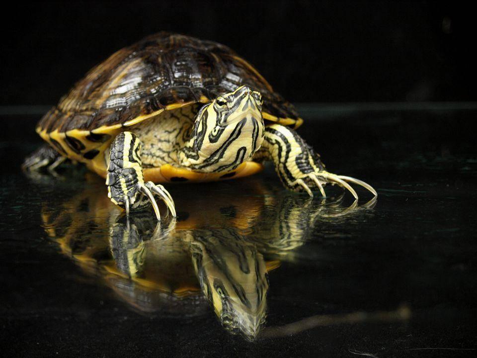 Yellow Bellied Slider Turtle For Sale Turtlestore Com