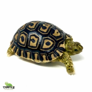 Giant leopard tortoise for sale