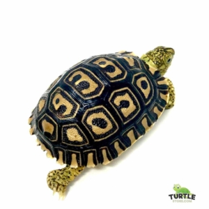 Giant South African tortoise for sale
