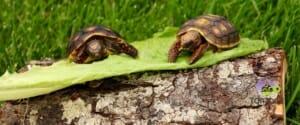cherry head red foot tortoise lifespan