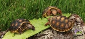 cherry head tortoise for sale online