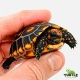 cherry head tortoise breeder