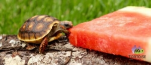 cherry head red foot tortoise temperature