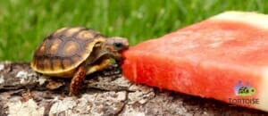 red foot tortoise lifespan