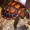 cherry head tortoise care