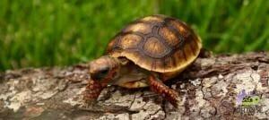 red foot tortoise food