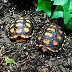 cherry head tortoise size