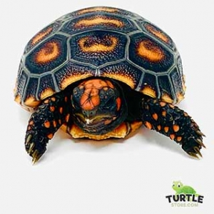 cherry head red foot tortoise appearance