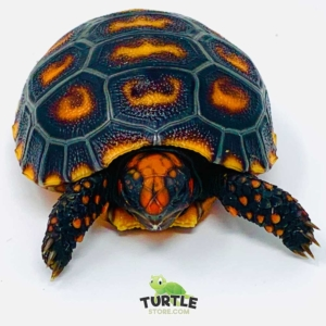 baby cherry head red foot tortoise