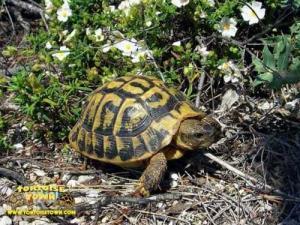 eastern hermanns tortoise for sale online