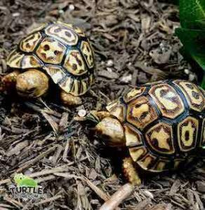 giant South African leopard tortoise for sale