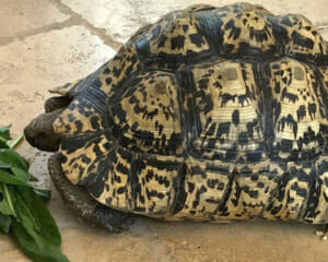 Giant south African leopard tortoise care