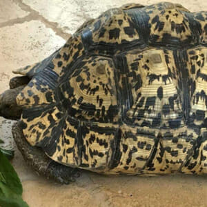 giant south african tortose for sale online
