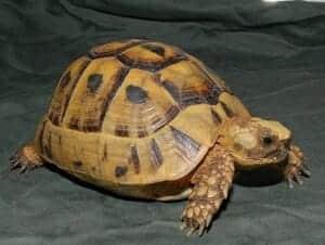 golden greek tortoise for sale online