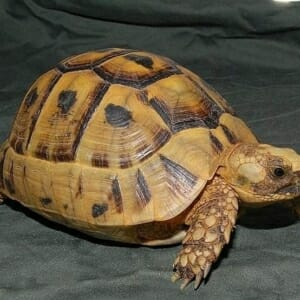 golden greek tortoise for sale online