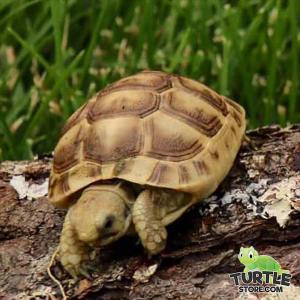 Golden Greek tortoise habitat