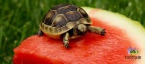 ibera greek tortoise care