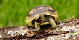 ibera greek tortoise habitat