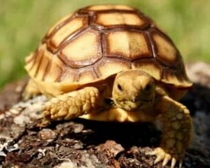 best tortoise for sale online